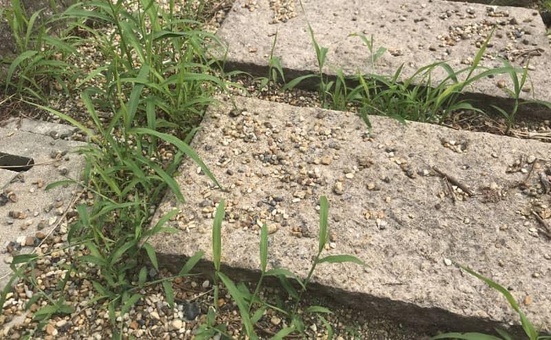2週間で育つ雑草